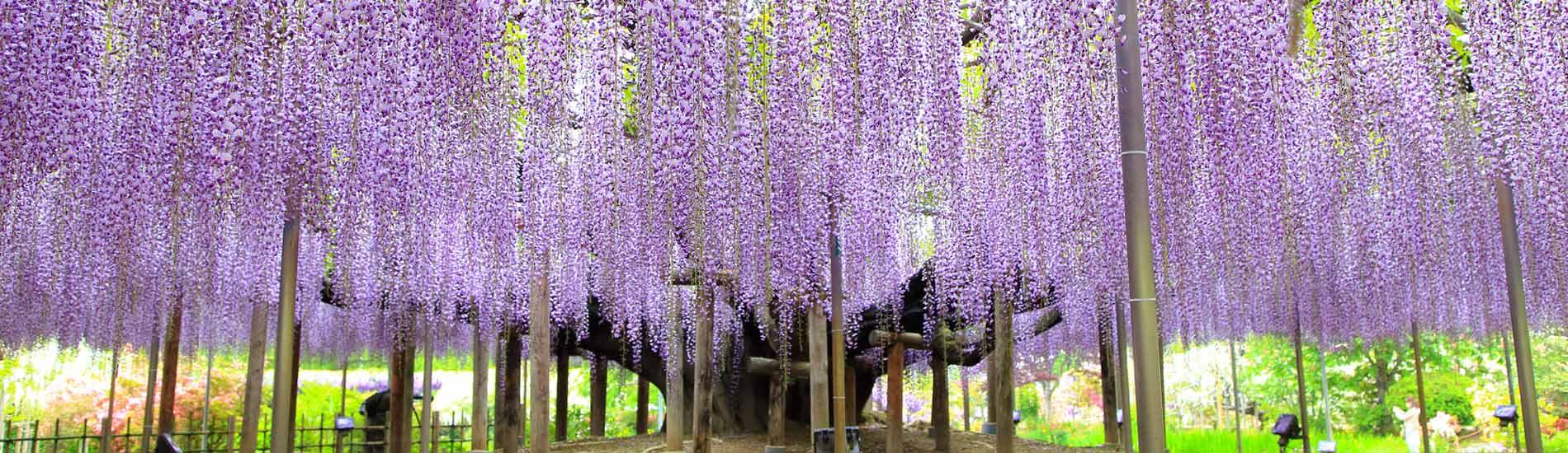 紫藤花風情(春季限定)
