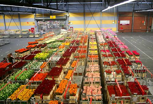 見證世界最大鮮花拍賣精彩實況