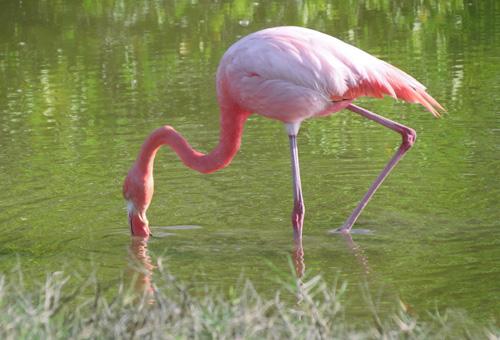 優雅火烈鳥覓食中