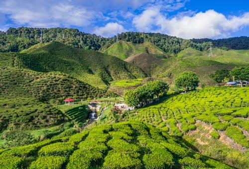 紅茶香滿溢 蓊鬱的青翠高原