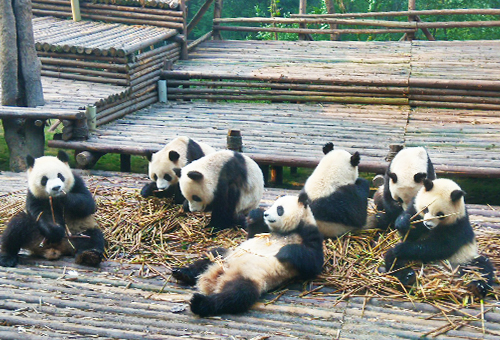 近觀熊貓憨萌姿態