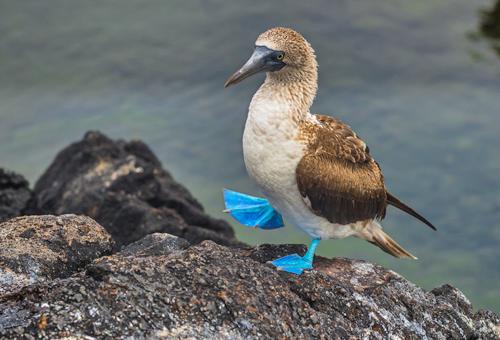 炫耀自己獨特藍腳的藍腳鰹鳥