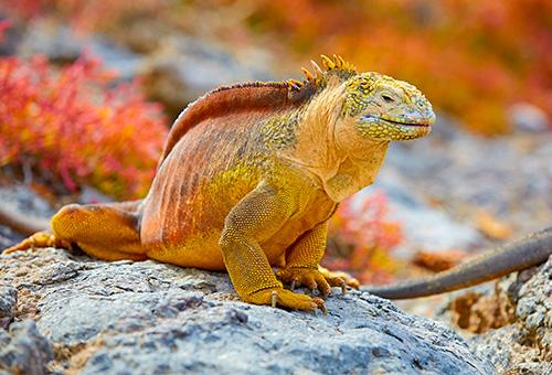 加拉巴哥群島獨有的陸蜥品種