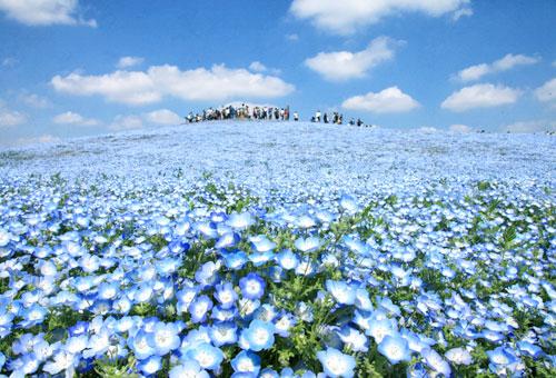 置身藍白粉蝶花海(常陸海濱公園)