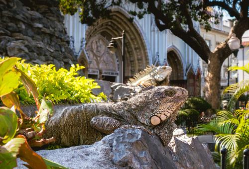 陸鬣蜥在Seminario Park做日光浴