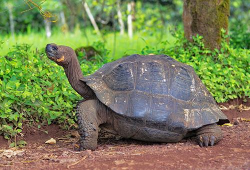 漫步中的巨龜Colorado Tortoise