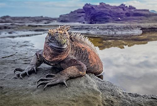 微笑海鬣蜥