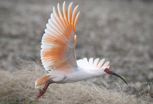窺看日本朱鷺美妙展翅