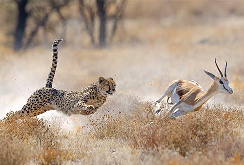 獵豹追捕瞪羚的刺激畫面