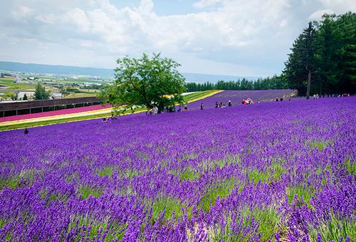 被浪漫薰衣草圍繞的富田農場