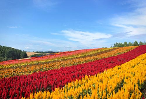 欣賞鮮豔花卉的四季彩之丘