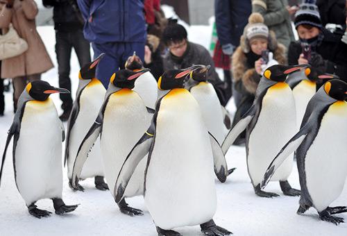 旭山動物園觀賞企鵝大街遊行