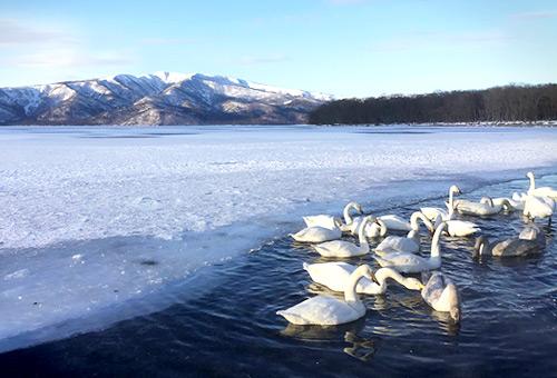 白鳥飛來地近距離欣賞天鵝泡溫泉
