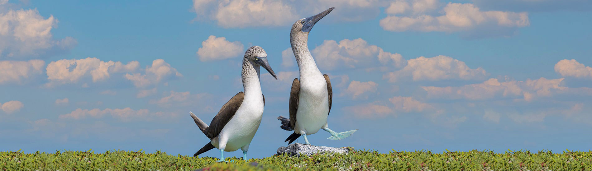 藍腳鰹鳥(Blue Footed Booby)