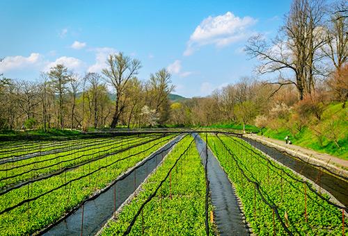 參觀日本最大山葵農場