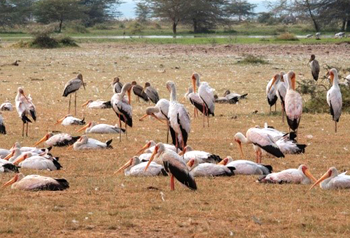 曼雅拉湖成群水鳥聚集地
