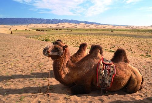 戈壁沙漠騎駱駝