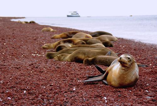 睡在紅色海灘的海獅