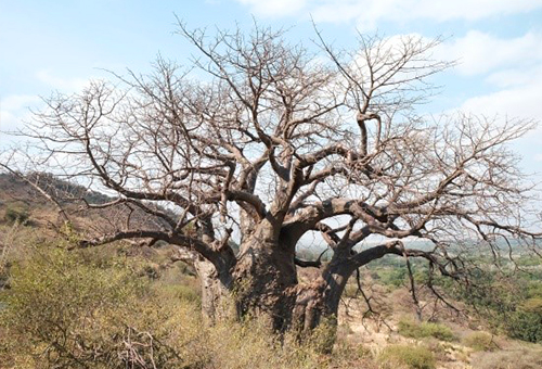 保護區內500歲以上的猴麵包樹