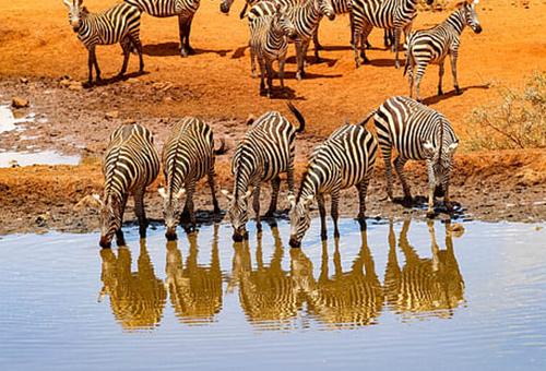 成群斑馬們聚集水源處